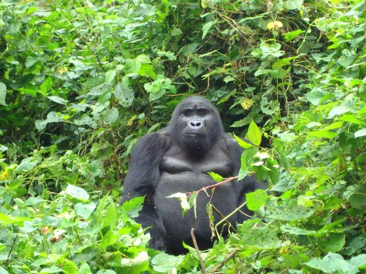 Tracking Silverback Mountain Gorillas in Bwindi, Uganda