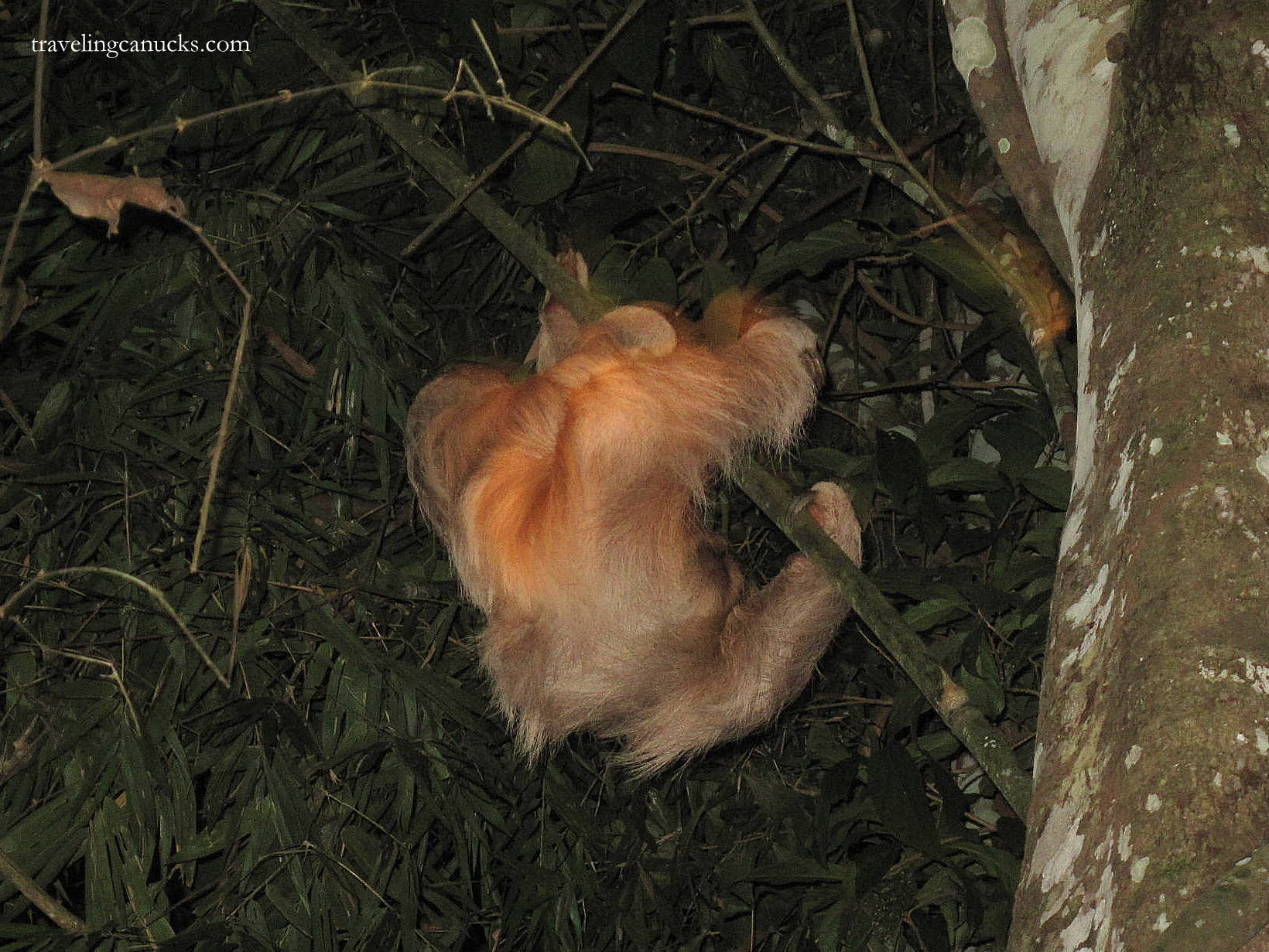 Photo of the Week: Three-toed Sloth in the Amazon Jungle, Peru