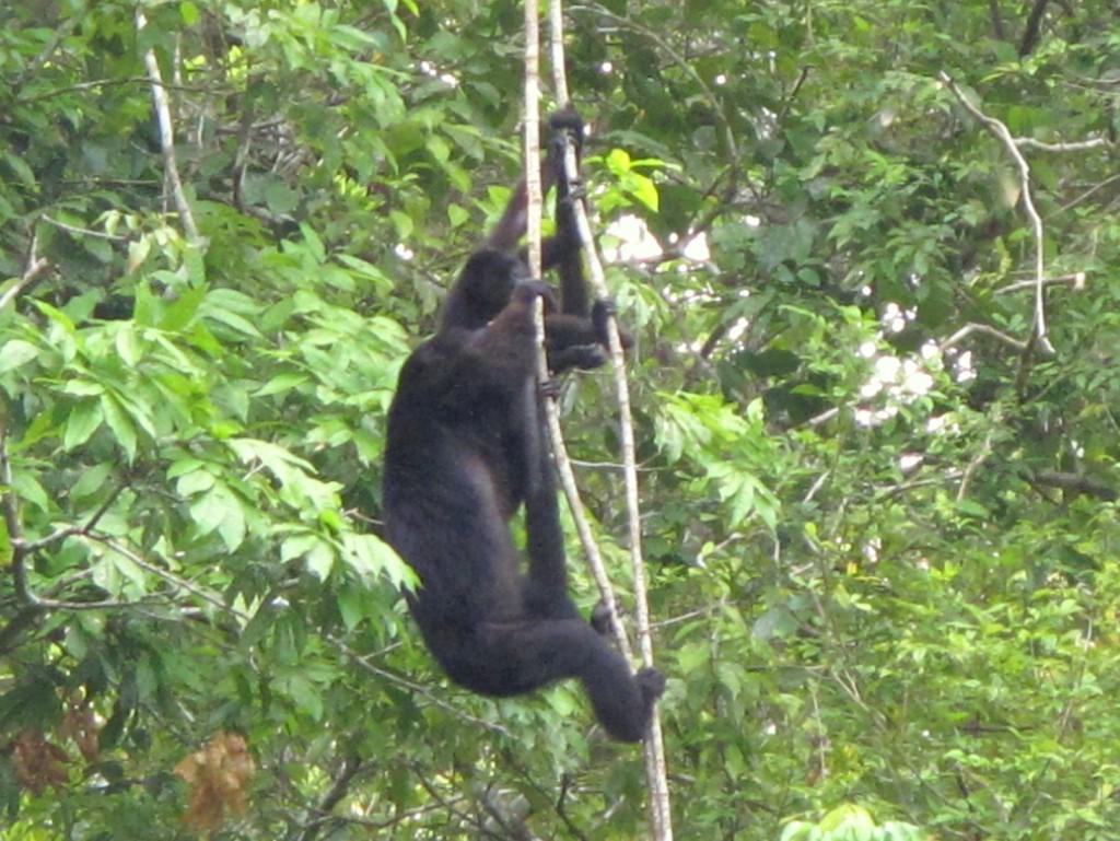 Howler-Monkey-Tikal-Guatemala