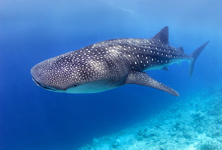 How to Spot a WHALE SHARK in the Belize Barrier Reef | Traveling ...