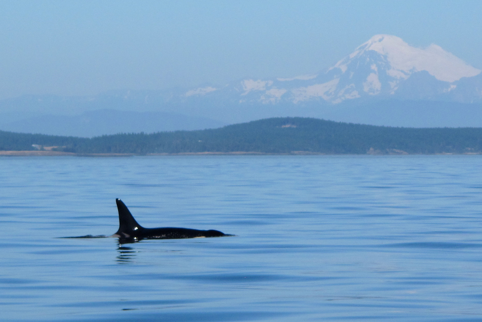 Surrounded by Killer Whales in Victoria, British Columbia