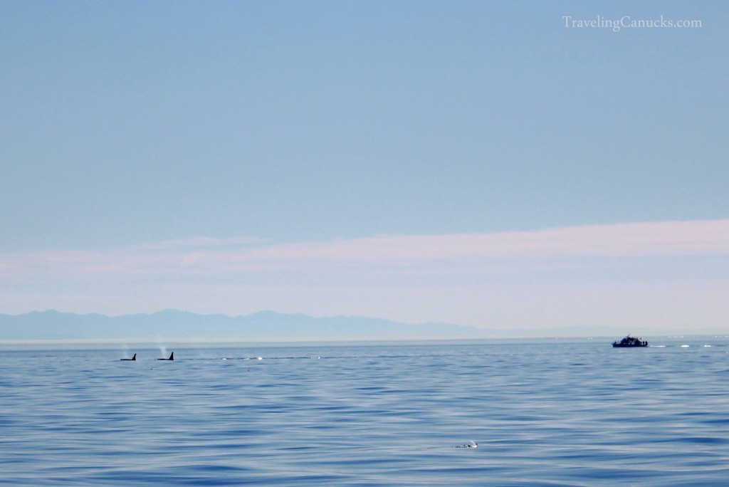 Victoria whale watching tour, orca whales, British Columbia