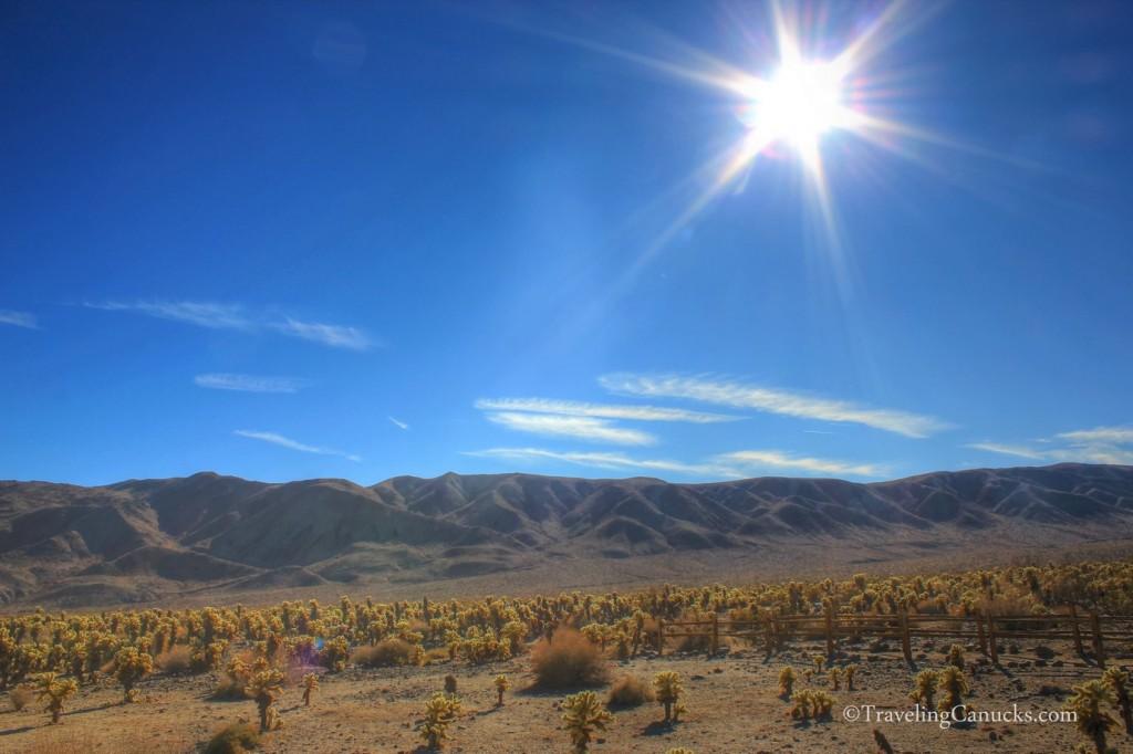 joshua-tree-national-park-cactus-field