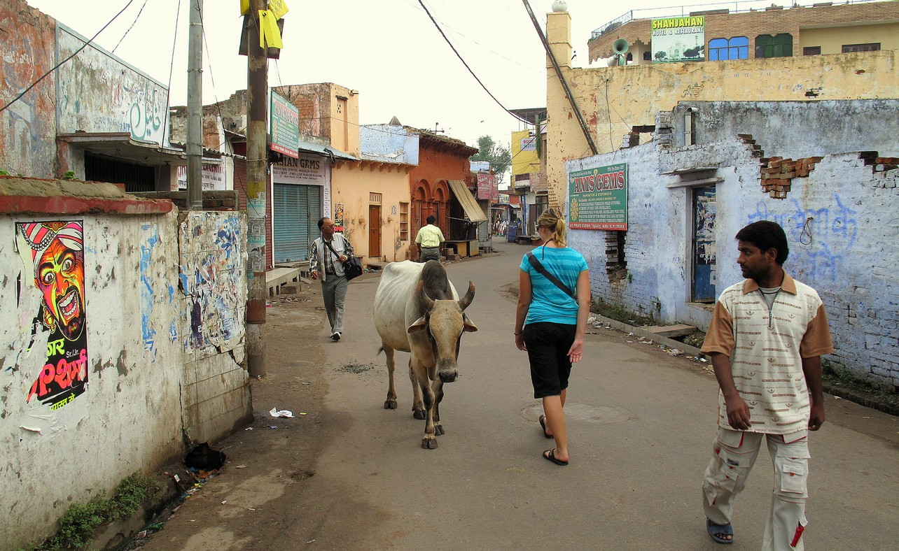 Cows Rule The Road In India