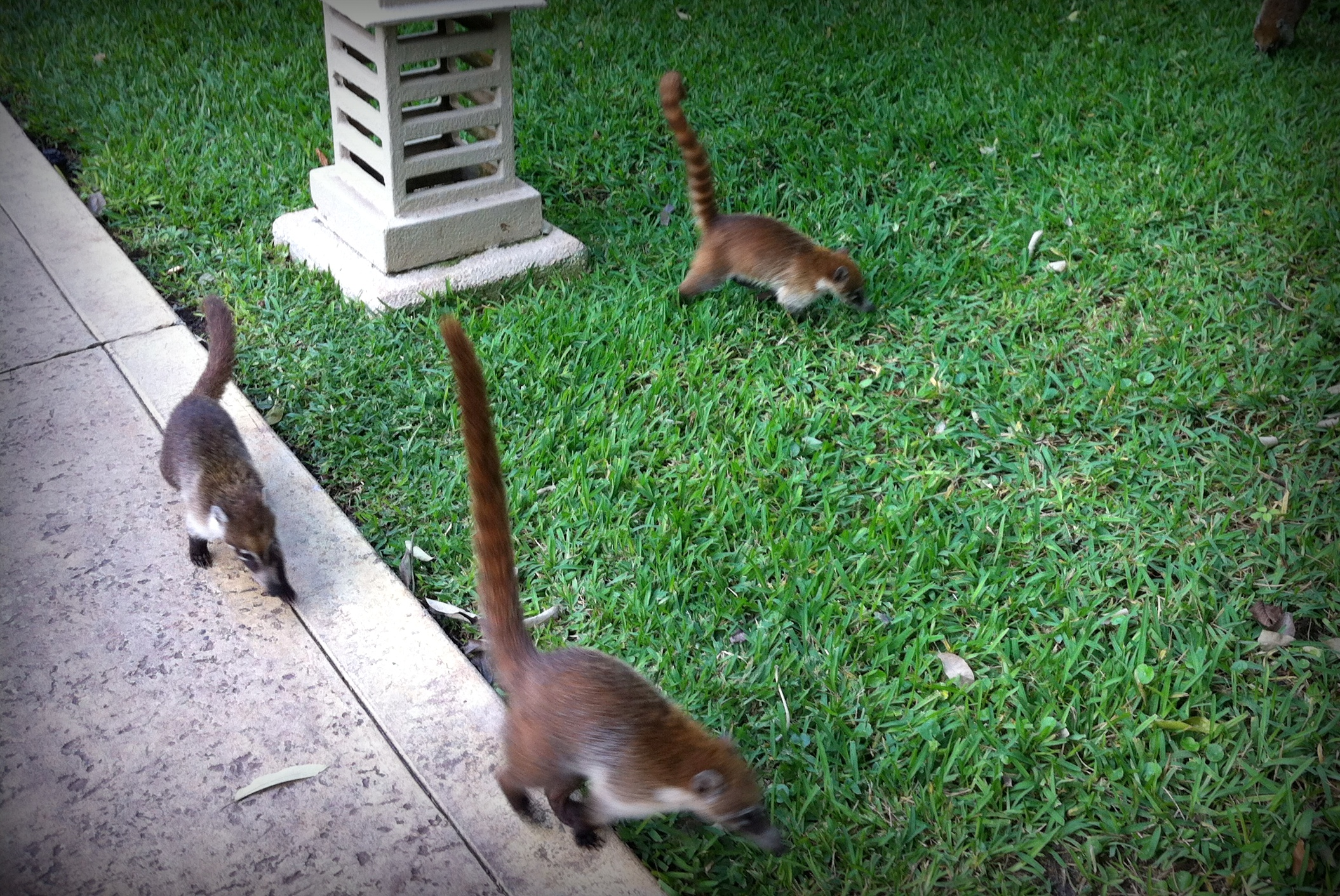Coati Invasion in the Riviera Maya