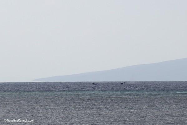 Whales, Molokai, Hawaii