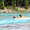 Wild elk crossing the Bow River in Banff National Park, Alberta We captured these beautiful creatures while driving down the section of the Trans-Canada Highway...
