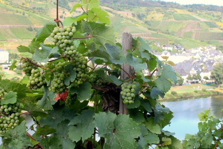 grapes vineyards mosel river valley germany