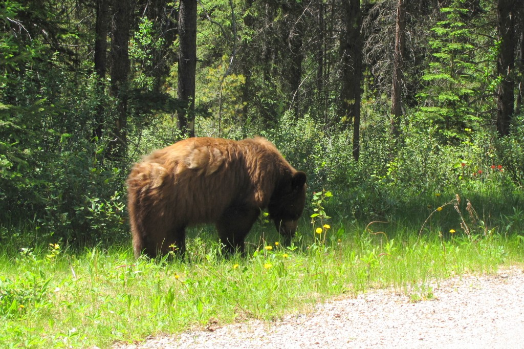brown bear in banff alberta
