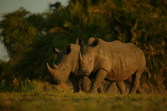 You can help save #JustOneRhino. And win the trip of a lifetime too!