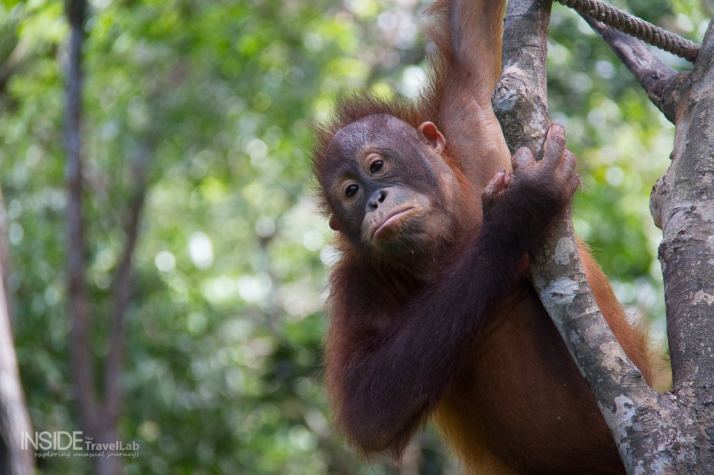The Orangutans of Borneo Rainforest