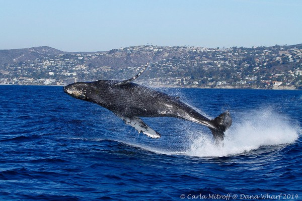 whale-watching-california-1