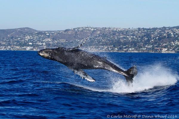 whale-watching-california-1