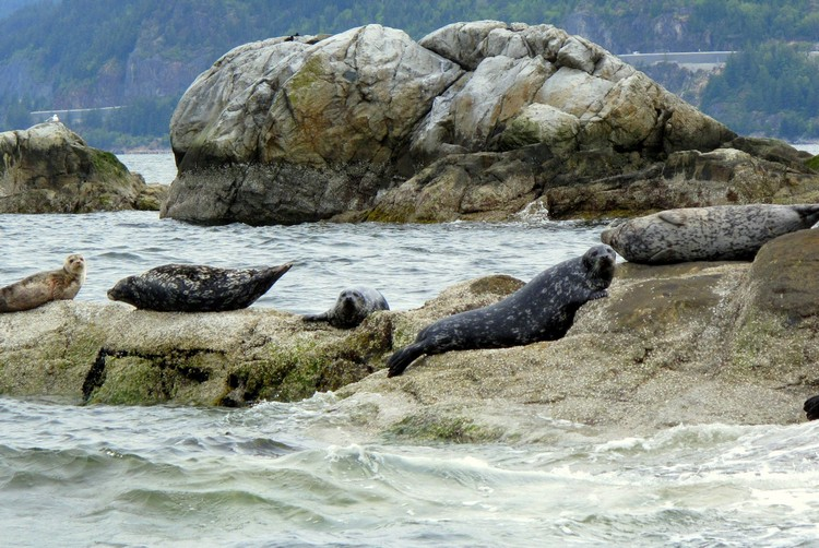 Seal colony at Pam Rocks in Howe Soune, things to do along the Sea to Sky Highway