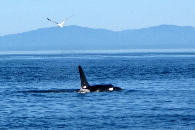 things to do in Victoria British Columbia, Orca Whale, Whale Watching