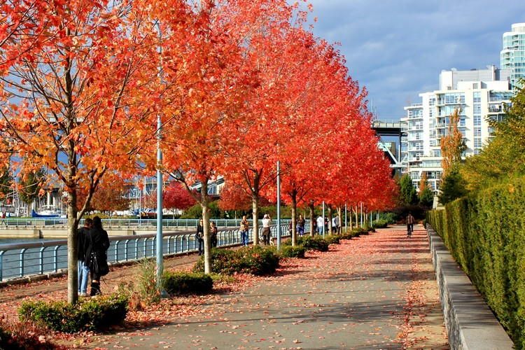 bright red colourful autumn trees in Yaletown Seawall Vancouver