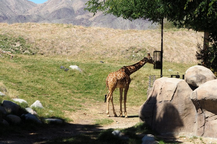 Giraffe feeding at The Living Desert Zoo in Palm Springs California
