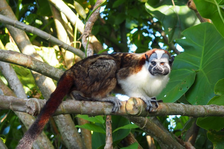 Geoffroy's tamarin in the wild. Spotted on Monkey Island Panama City tour