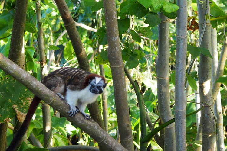 Monkey Island tour from Panama City, tamarin monkey in the trees