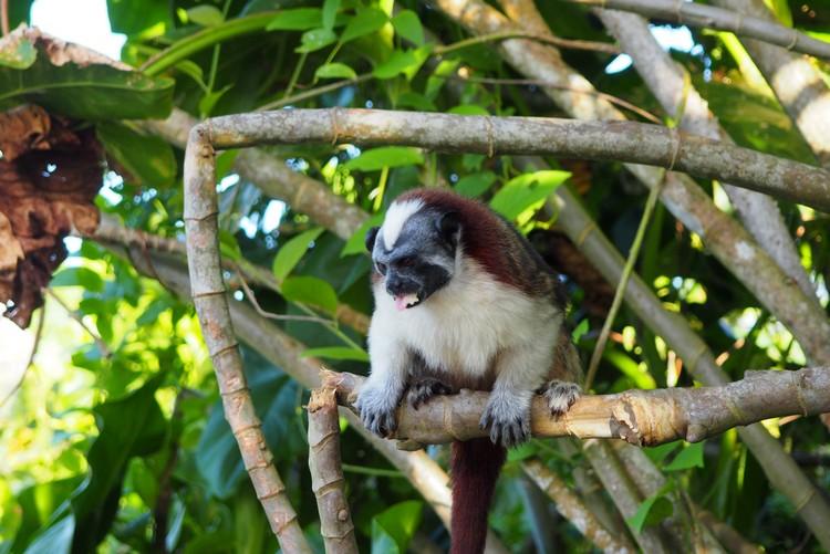 Geoffroy's tamarin panama jungle. Monkey Island tour from Panama City, Panama