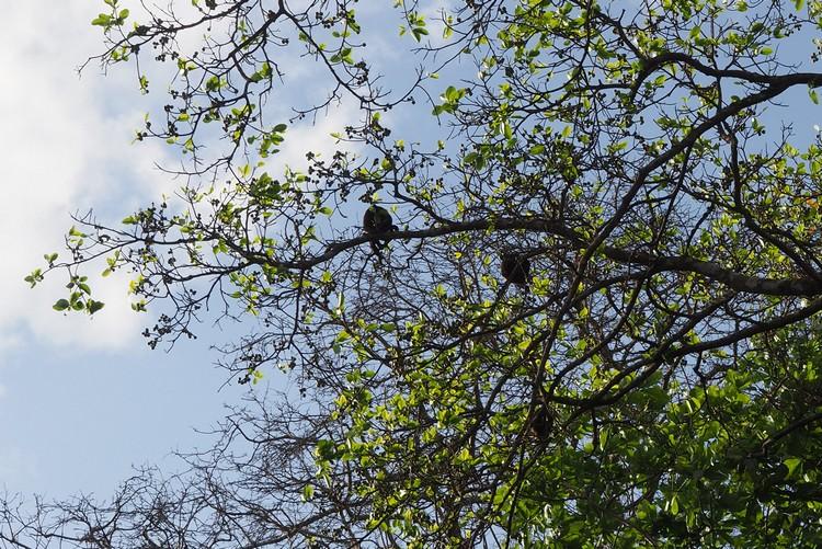 mantled howler monkey on Panama Canal tour to Monkey Island