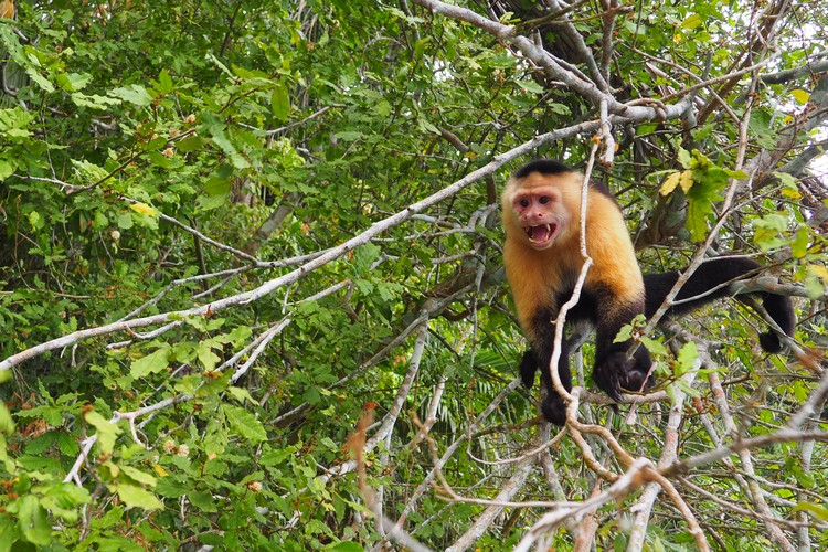 white-faced capuchin Panama jungle. Monkey Island tour from Panama City