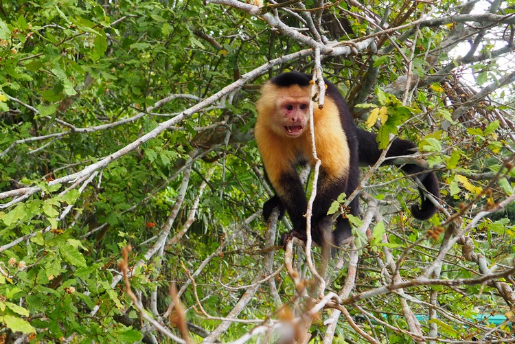 Panamanian white-faced capuchin monkey in Gatun Lake, Panama Canal, Panama jungle