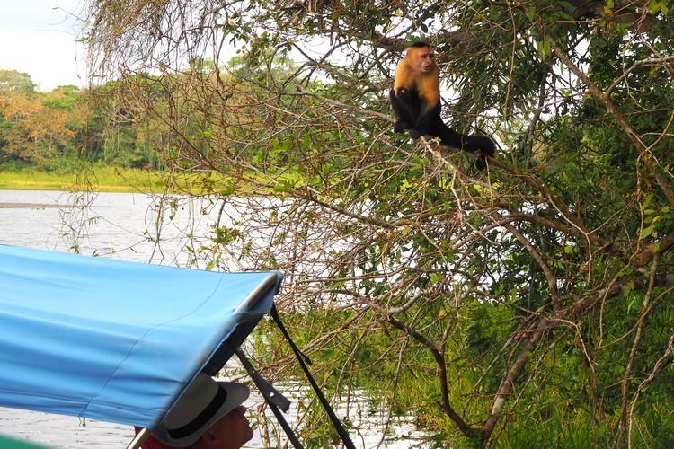 Panamanian white-faced capuchin monkey in Gatun Lake, Panama Canal, Panama Monkey Island tour